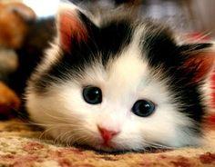 Kawai cute pet kitten!