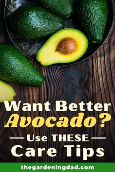 Do you Want Better Avocado this year?  Then Use THESE Care Tips!  You'll love how easy these EASY DIY Care Tips are!  #avocado #gardening #fruits Gardening For Beginners, Gardening Tips, Vegetable Gardening, Avocado Uses, Growing An Avocado Tree, Starting A Garden, Potted Trees, Fruit Garden, Companion Planting