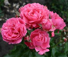 "A ""wow,"" easy-care rose with large clusters of slightly fragrant, very double, and very full deep-pink blooms resembling peonies. Appears in profusion from late spring through summer. Grows up to 3 feet high and wide in zones 5-9. Bare-root, about $21; Palatine Roses"