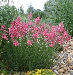 """coral canyon twinspur, 12-15"""" tall x 8-12"""" spread, bought at BWC and planted 5/13"""