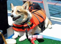 "Sailing San Diego Corgis:  He said it gave him ""peace of mind."""