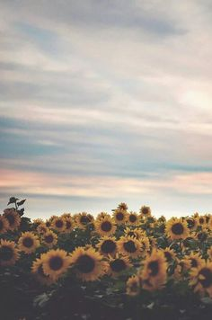 Sunflower sky wallpaper for Android and iPhone Tumblr Wallpaper, Nature Wallpaper, Aesthetic Backgrounds, Aesthetic Iphone Wallpaper, Aesthetic Wallpapers, Sunflower Iphone Wallpaper, Iphone Background Wallpaper, Sunflowers Background, Field Of Sunflowers