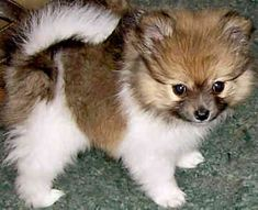 Google Image Result for https://www.gotpetsonline.com/pictures-gallery/dog-pictures-breeders-puppies-rescue/pomeranian-pictures-breeders-puppies-rescue/pictures/pomeranian-0320.jpg