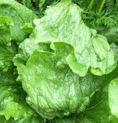 By kleintiereonline.de. . Salatüberschuss im Garten. Im Juni, wenn Feuchtigkeit und Wärme vorhanden sind, wachsen alle Pflanzen extrem schnell. Wir haben dies heuer wieder einmal festgestellt. Wir wollten gestaffelt Salt anpflanzen und nun sind alle drei Sorten fast gleichzeitig pflückbereit. Der Eisbergsalat kommt ursprünglich aus den USA und wird auch als Krachsalat bezeichnet. In Holland gibt es seit Neuem auch eine rote Version. Dem Eisbergsalat wird manchmal auch vorgeworfen, dass er… Juni, Lettuce, Holland, Vegetables, Lawn And Garden, The Nederlands, The Netherlands, Vegetable Recipes, Netherlands