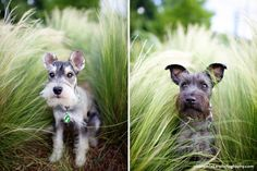Jacques and Pierre by Nicole Mlakar #Miniature #Schnauzer