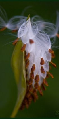 "I love opening milkweed pods and blowing out the flowers. Was a ""Loves me Loves me not"" thing."