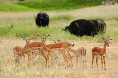 Impala at Motswari Private Game Lodge Game Lodge, Private Games, Impala, Tourism, Wildlife, Hotels, African, Quote, Book