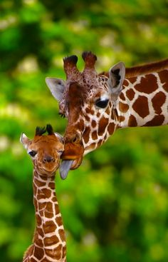 Giraffe and baby...so sweet.