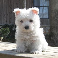 West Highland White Terrier puppies sale classified by ...