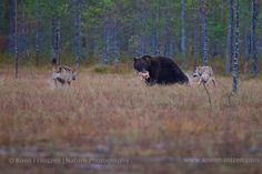 Bears & wolves, Finland   koenfrantzen.com Brown Bear, Wolves, Animals Beautiful, Finland, Bears, Cutest Animals, Wolf, Bear