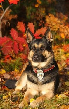K9 Gorgeous German Sheperd Future dog
