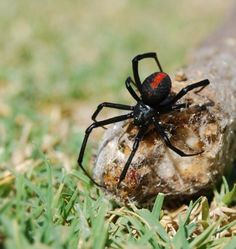 The male Redback Spider performs a somersault after mating and literally jumps into the female's mouth to be devoured. Scared Of Spiders, Spiders And Snakes, Redback Spider, Black Widow Spider, Spider Tattoo, Pest Solutions, Bugs And Insects, Science Nature, Creepy