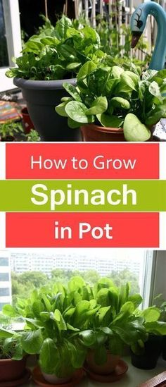 to Grow Spinach in Pots Growing spinach in containers is easy too you can even grow it indoors on a windowsill!Growing spinach in containers is easy too you can even grow it indoors on a windowsill! Indoor Vegetable Gardening, Veg Garden, Organic Gardening, Garden Plants, Gardening Tips, Garden Web, Flower Gardening, Veggie Gardens, Garden Design