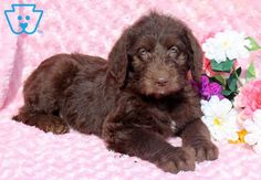 New dogs and puppies for sale people 67 Ideas Labradoodle Puppies For Sale, Baby Puppies, Dogs And Puppies, Dog Quotes Love, Dog Quotes Funny, Dog Cake Topper, Dog Wallpaper, Dog Illustration, Puppy Care