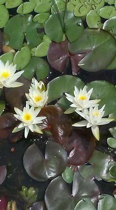 Chamomile Tea, Lily Pond, Plants, Color, Colour, Plant, Planets, Colors