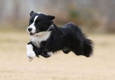 12 Border Collies Totally Defying The Laws Of Physics