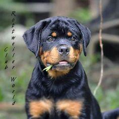 Hi Lovie Rottweiler