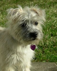 can't wait to get myself another cairn terrier puppy. They're the best