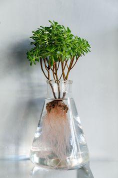 多肉植物のアエオニウム。水の中の根の美しさに目を奪われる。葉と根の両方の成長を楽しめるのが水耕栽培のおもしろさだ。