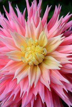 Pink Dahlia with a yellow center, flowers, nature