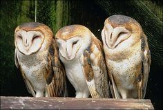 I want to be a barn owl. ugh.