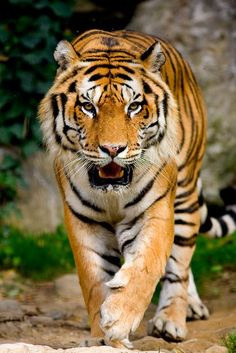 1 million+ Stunning Free Images to Use Anywhere Wild Animal Wallpaper, Tiger Wallpaper, Pet Tiger, Tiger Art, Bengal Tiger, Siberian Tiger, Tiger Cubs, Bear Cubs, Grizzly Bears