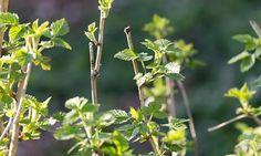 Нормальному развитию и плодоношению малиновых кустов способны помешать разнообразные вредители.