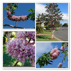 'Melicope elleryana' flowering tree mosaic | Flickr - Photo Sharing!