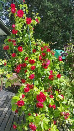 Flammentanz Rose  second summer now.
