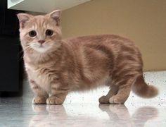 Munchkin Cat – Purrfect Cat Breeds