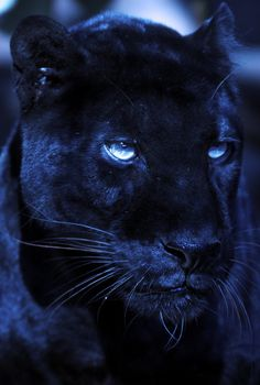 Great blue black panther, http://ninaohman4life.wordpress.com/