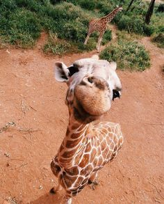 Just a fun giraffe Baby Animals Pictures, Cute Animal Pictures, Animals And Pets, Cute Little Animals, Cute Funny Animals, Cute Puppies, Cute Dogs, Tier Fotos, Cute Creatures
