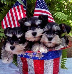 Toy Miniature Schnauzers | Miniature Schnauzer, AKC Teacup Toy & Miniature Schnauzers, Dog Breed ...
