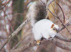 Piebald squirrel