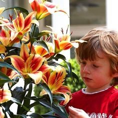 Gigantické stromkové lilie 'Montego Bay Montego Bay, Crown, Plants, Flowers, Lily, Corona, Plant, Crowns, Crown Royal Bags