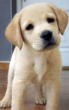 Mind Blowing Facts About Labrador Retrievers And Ideas. Amazing Facts About Labrador Retrievers And Ideas. Animals And Pets, Baby Animals, Funny Animals, Cute Animals, Lab Puppies, Cute Puppies, Cute Dogs, Beautiful Dogs, Animals Beautiful