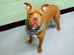 GONE --- TO BE DESTROYED: 12/4/2014 Manhattan Center ***NEW PHOTOS***  My name is VICTOR. My Animal ID # is A1022049. I am a neutered male tan pit bull mix. The shelter thinks I am about 4 YEARS old.  I came in the shelter as a OWNER SUR on 12/01/2014 from NY 10473, owner surrender reason stated was MOVE2PRIVA.  https://www.facebook.com/photo.php?fbid=916126615066885
