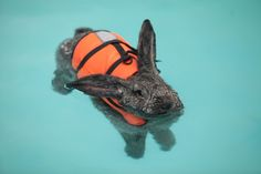 Heidi the poor bunny has arthritis in her knees and hips, so to help with the pain she swims a few times a week!  Sometimes she wears a scrunchie on her ears so that they don't get wet! Click thru for more pics