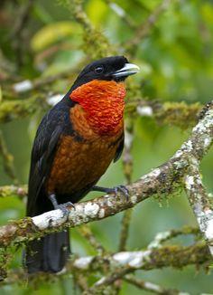 Foto pavó (Pyroderus scutatus) por Ciro Albano | Wiki Aves - A Enciclopédia das Aves do Brasil