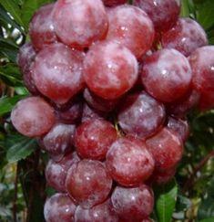 Éretten bíborpiros színű csemegeszőlő. 1939-ben állították elő Kaliforniában. Az egész világon ismert fajta. Nagy húsos piros bogyói nagyon jó ízűek, húsa ropogós.