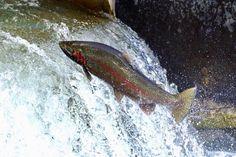 スティールヘッドの滝登り。ひたすら登って行く姿に感動。あと2ヶ月程でこの光景が再び始まります。Spring run in 2016. #flyfishing #steelhead #springrun #bowmanvillecreek #ontario #スティールヘッド #遡上 #フライフィッシング