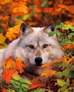 Wolf beautiful Looks like the wild gang from the Labyrinth. Gray Timber Wolf in Fall Leaves Wolf Love, Beautiful Creatures, Animals Beautiful, Tier Wolf, Animals And Pets, Cute Animals, Wild Animals, Wolf Spirit, Beautiful Wolves