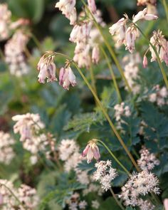 18 Favorite Perennials That Thrive in Shady Gardens Fern-Leaf Bleeding Heart. Longer bloom time than classic bleeding heart. Longer bloom time than classic bleeding heart. Flowering Shade Plants, Tall Plants, Plants For Shade, Shade Flowers, Yellow Flowers, Shade Garden, Garden Plants, Flowers Garden, Permaculture