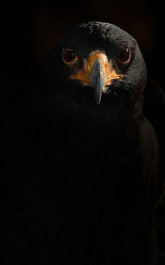 Black Eagle | Most Beautiful Pictures