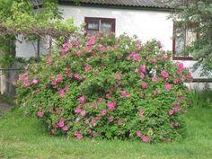 морщинистая роза: 21 тыс изображений найдено в Яндекс.Картинках