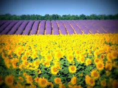 Image result for flower fields bloom in france