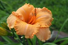 Daylily Tangerine Horses, via Flickr. Day Lilies, Peach Colors, Garden Plants, To My Daughter, Lily, Gardening, Scrapbook, Horses, Flowers