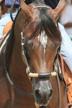 Infinity RCA, bay Egyptian Arabian Western Pleasure Champion Stallion, son of Bellagio RCA, standing at stud at Arabians Ltd., Waco, Texas. #bellagiorca