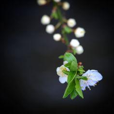 Smukke mirabelleblomster ved Brylle #visitfyn #visitdenmark #fyn #nature #nature_perfection #naturelovers #mothernature #natur #loves_skyandsunset #loveit #denmark #danmark #dänemark #landscape #assensnatur #mitassens #vildmedfyn #fynerfin #vielskernaturen #visitassens #instapic #picoftheday #spring #brylle #assens #flowers