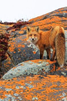 Stunning Red Fox--I love that he's color coordinated with the lichen on the rocks.